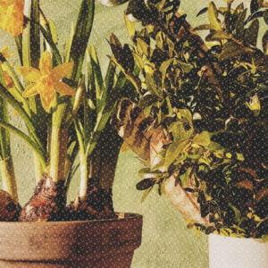 grafika promująca wydarzenie: rośliny doniczkowe, w tym żonkile.