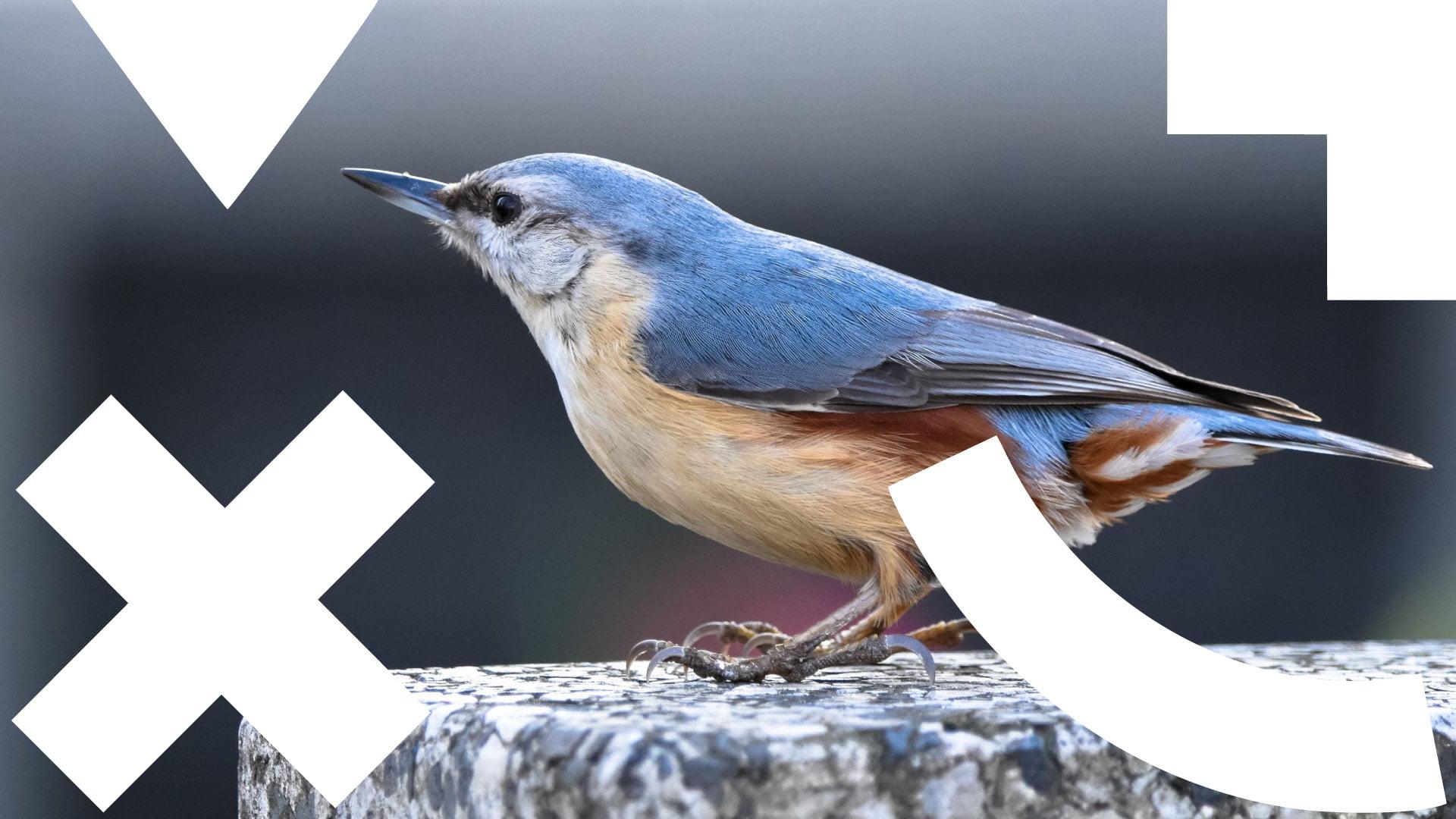 zdjęcie przedstawia kowalika zwyczajnego: ptak szaroniebieski, policzki i podbródek białe, przez oko przechodzi czarny pasek sięgający do karku, rdzawe podbrzusze