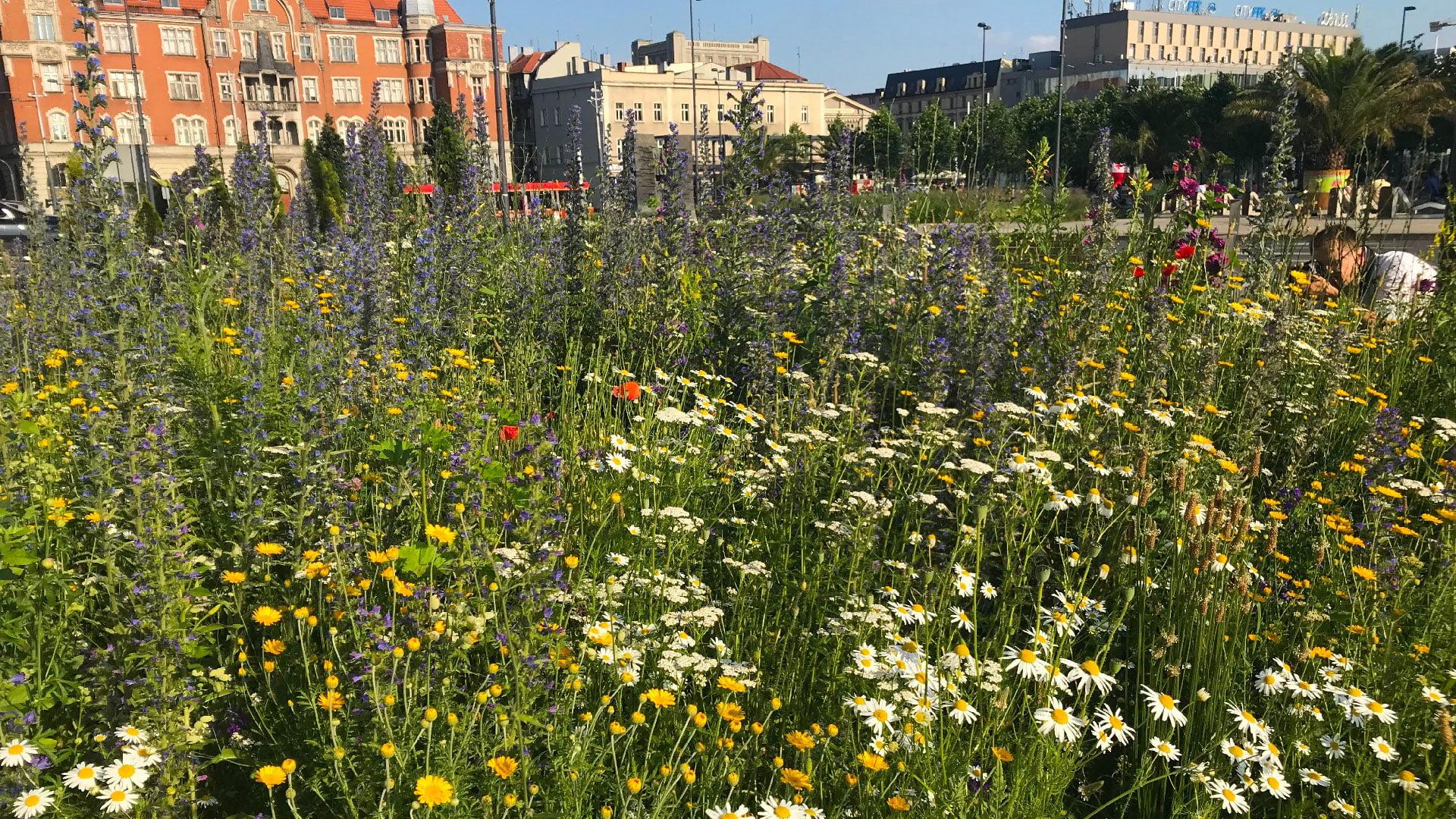 zdjęcie przedstawia łąkę kwietną w centrum miasta