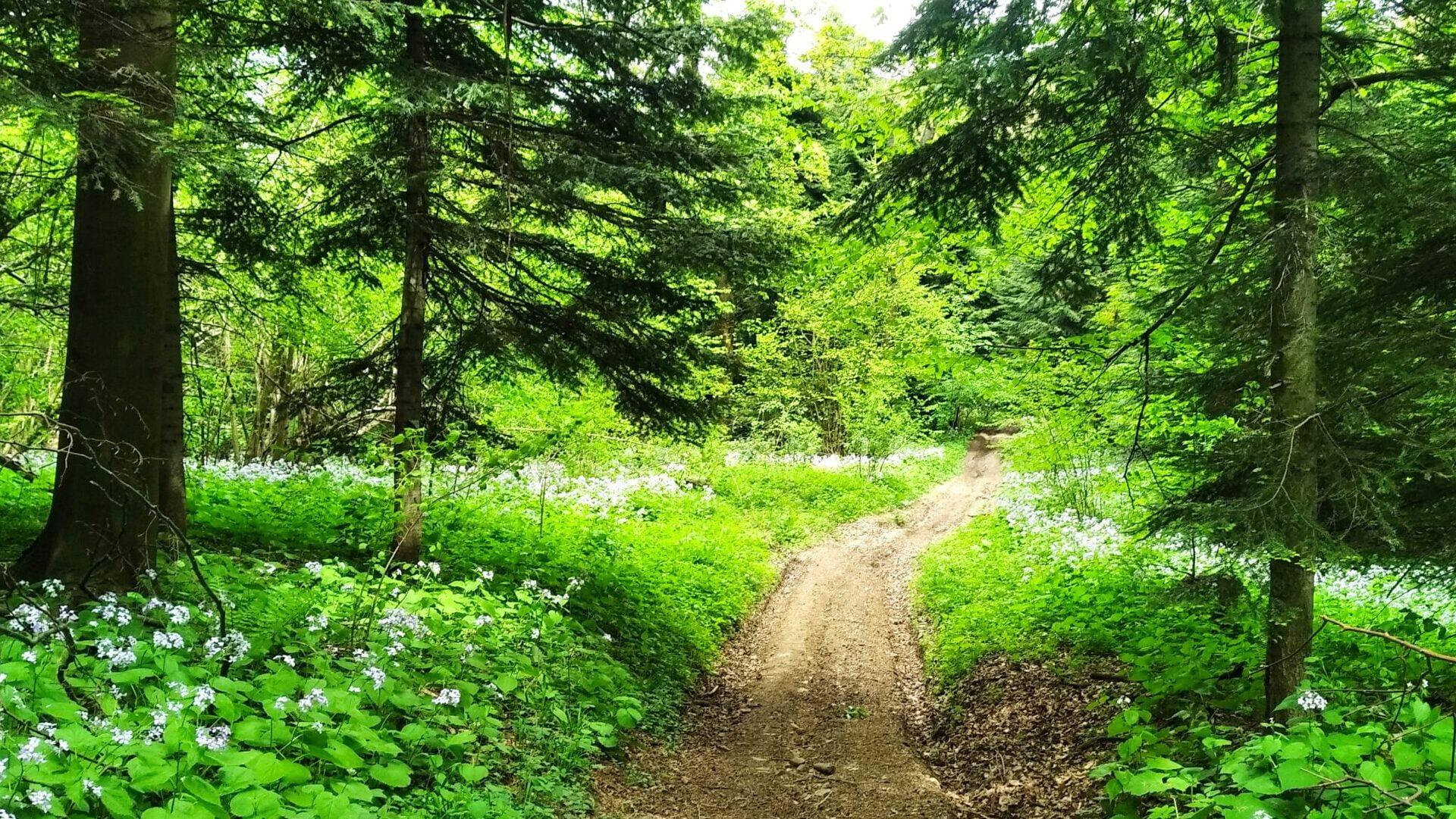 zdjęcie przedstawia ścieżkę w lesie